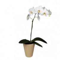 Orquidea Phalaenopsis, España